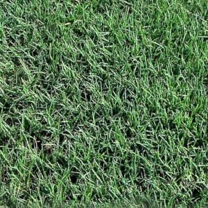 Celebration Bermuda Grass-300x300