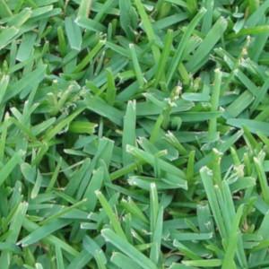 Palmetto St. Augstine Grass-300x300